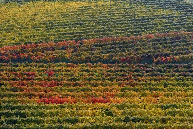 Zardetto Vineyard Image 5