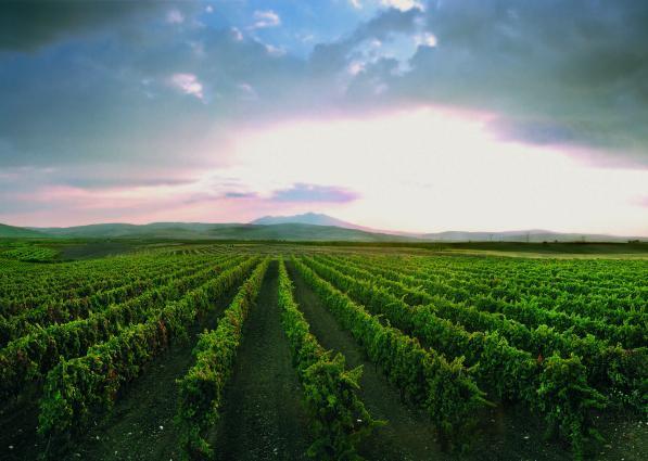 Bisceglia Vineyards