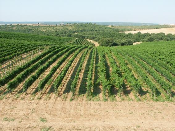 Botromagno - La Selva Grande Vineyard