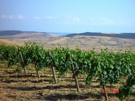 Botromagno - La Selva Vineyard