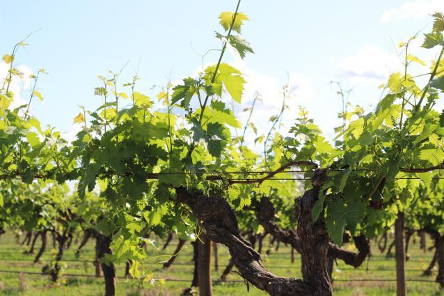 Campbells Summer Vines