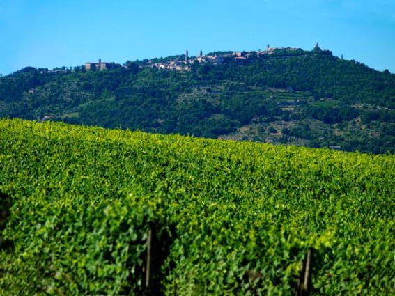 Altesino Vineyard