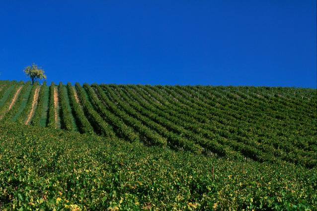 Regaleali Vineyard