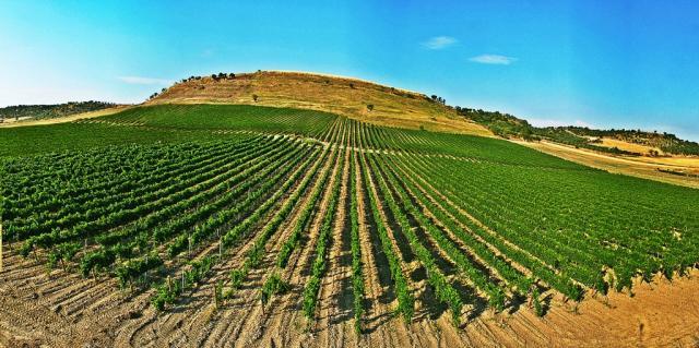 Botromagno - Vineyard