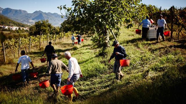 Montevetrano Harvest