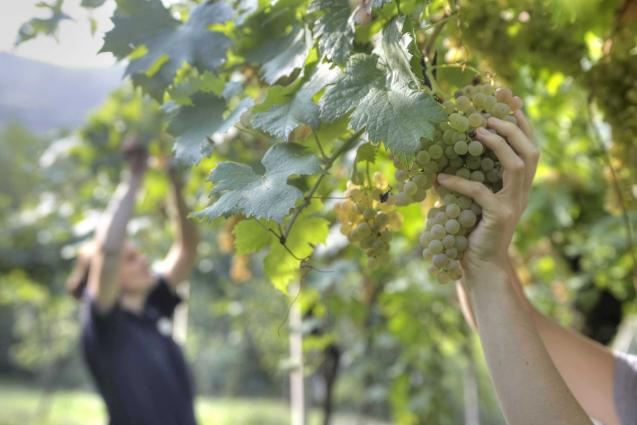 Suavia Harvest