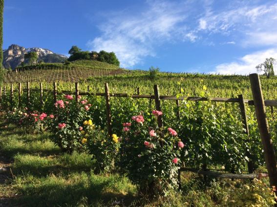 Tiefenbrunner Vineyard