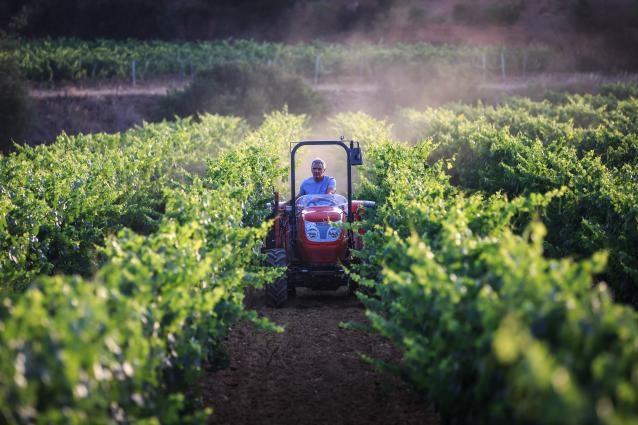 Out in the Vineyard  harvesting grapes with a machine