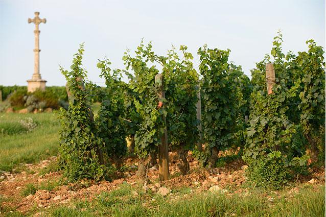 Château de Beauregard vines
