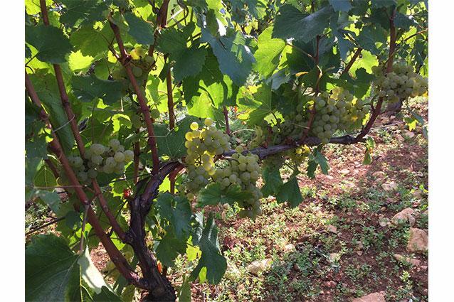 Domaine Xavier Monnot Grapes