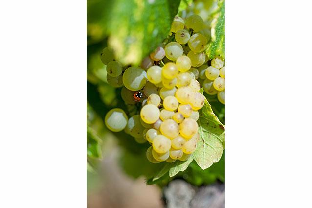 Domaine Gagnard-Delagrange Grapes