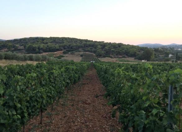 Malagousia Vineyard