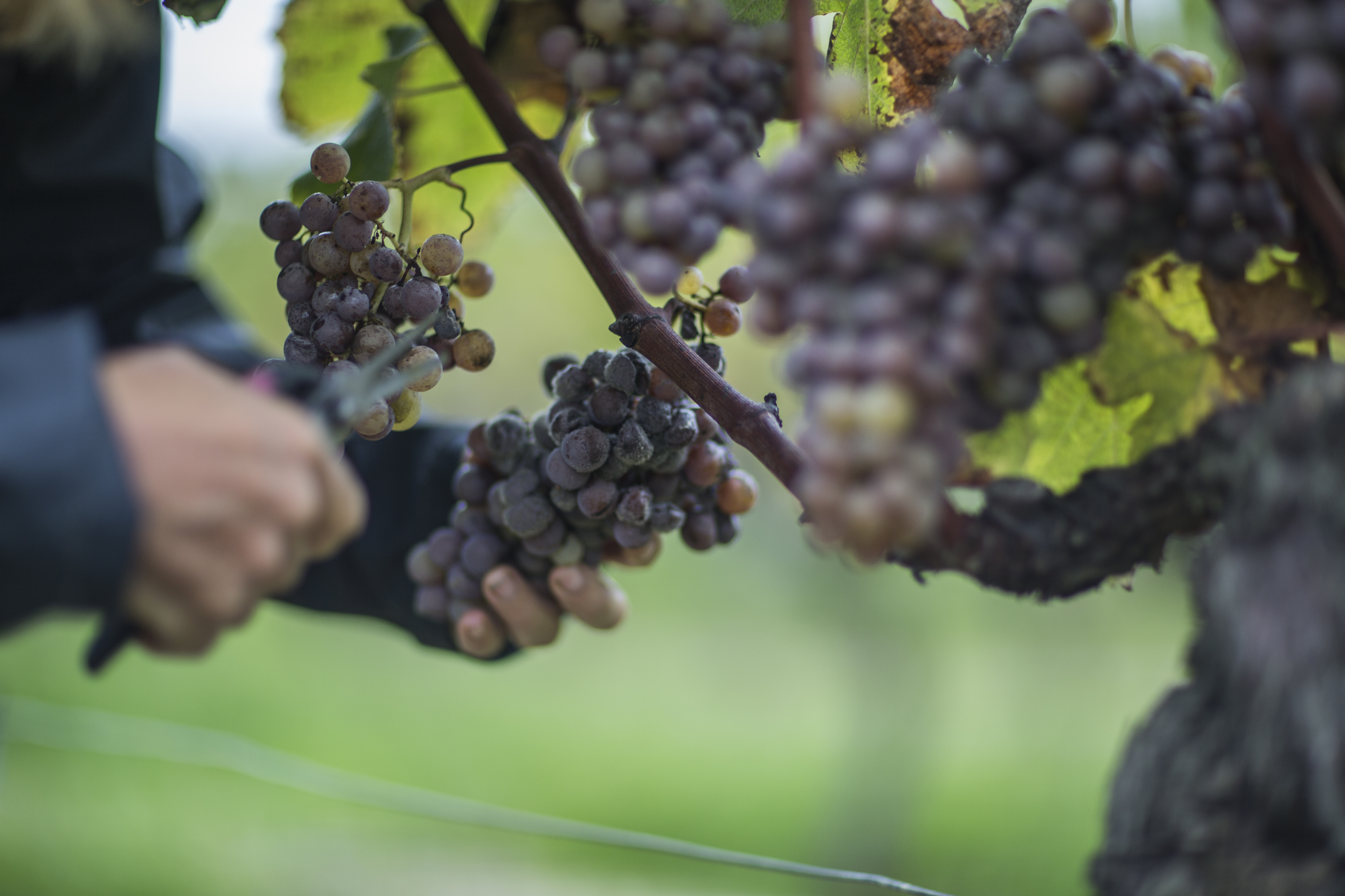 Late Harvest Grapes