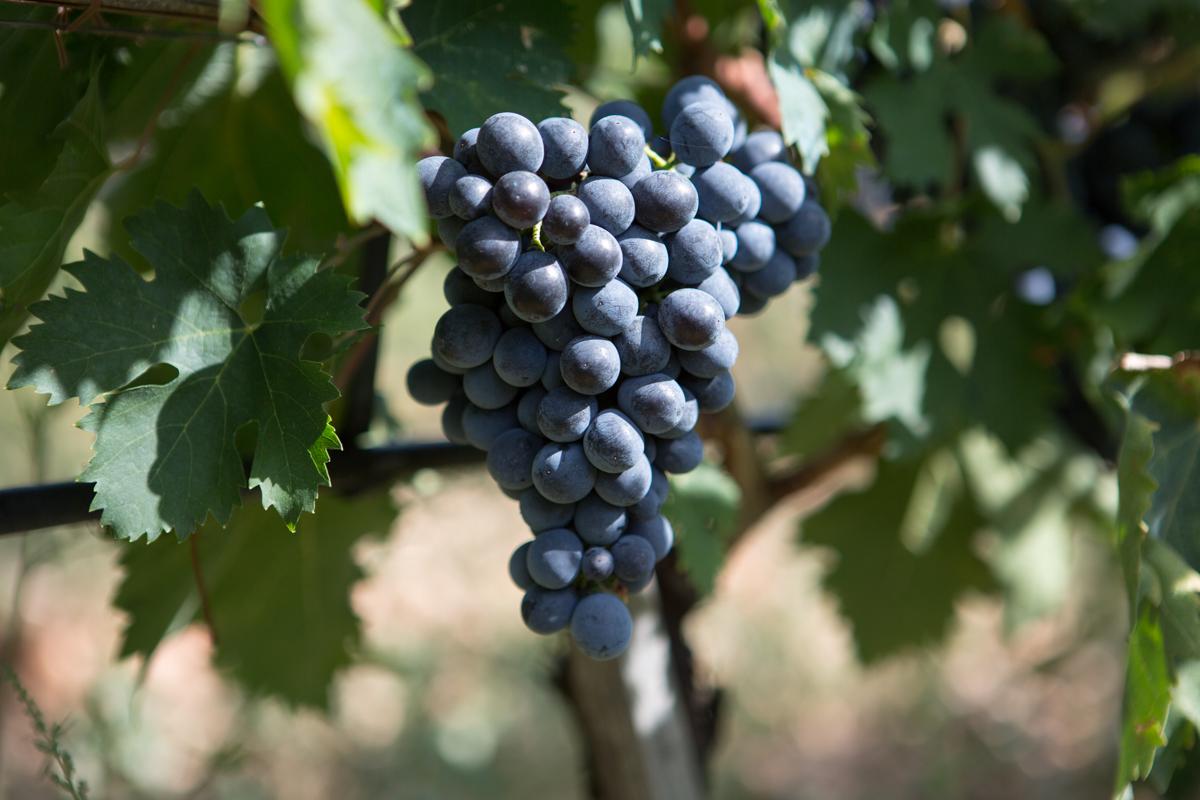 Montepulciano d'Abruzzo Grape Cluster