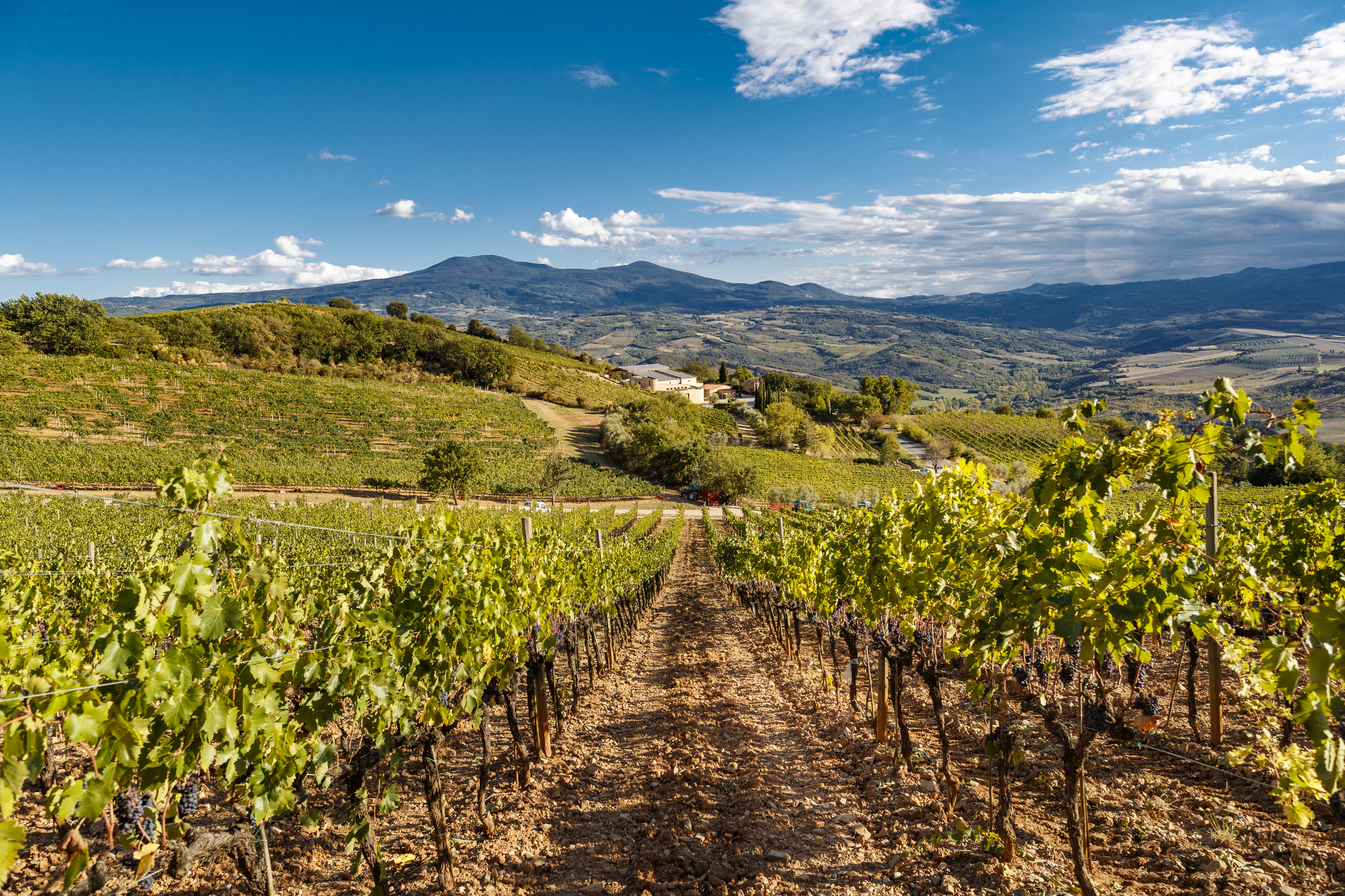 Sangiovese Vineyards